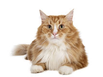Siberian cat (Bukhara cat). On a white background in studio Royalty Free Stock Images