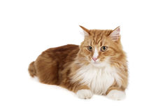 Siberian cat (Bukhara cat). On a white background in studio Stock Images