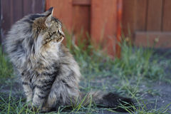 Siberian cat close up. Cat is sitting on green grass. Royalty Free Stock Photos
