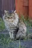 Siberian cat close up. Cat is sitting on green grass. Bokeh background. Stock Images