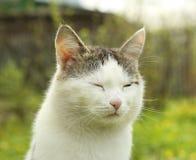 Siberian cat close up face portrait Stock Image