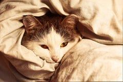 Siberian cat close up monochrome portrait Stock Image