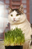 Siberian  cat close up portrait on the windowsill Royalty Free Stock Image