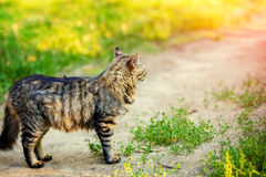 A Siberian cat on a dirt road. A Siberian cat is standing on a dirt road in the countryside Stock Photography