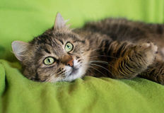 Siberian cat with a dreamy look Stock Photography