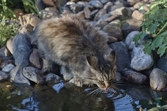 Siberian cat is drinking water Stock Photos