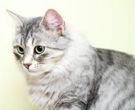 Siberian cat,female version silver Royalty Free Stock Photo