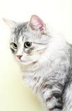 Siberian cat,female version silver Royalty Free Stock Image