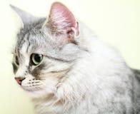 Siberian cat,female version silver Royalty Free Stock Photos