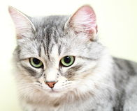 Siberian cat,female version silver Royalty Free Stock Photography