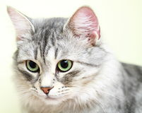 Siberian cat,female version silver Stock Image