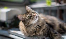 Siberian cat Stock Photography