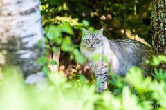 Siberian cat in the forest. Gray Siberian cat with green eyes in the forest royalty free stock photography