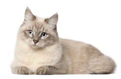 Siberian cat, in front of white background Royalty Free Stock Images
