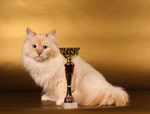 Siberian cat on golden background Royalty Free Stock Photo
