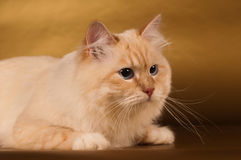 Siberian cat on golden background Stock Images