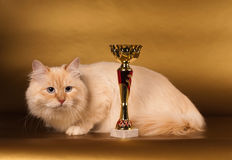 Siberian cat on golden background Royalty Free Stock Photos