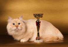 Siberian cat on golden background Royalty Free Stock Photography