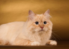 Siberian cat on golden background Royalty Free Stock Images