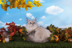 Siberian cat on the grass with autumn leaves.  Royalty Free Stock Images