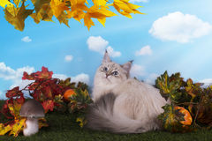 Siberian cat on the grass with autumn leaves Royalty Free Stock Photos