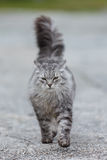 Siberian cat Stock Photography