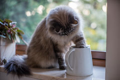 Siberian cat. With his paw in a jug Stock Images
