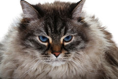 Siberian cat isolated. Portrait of siberian cat isolated Stock Photography