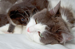 Siberian cat with kittens. Stock Photography