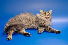 Siberian cat with let out claws Royalty Free Stock Image