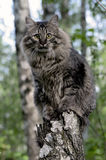 The Siberian cat. Long-haired cat sitting on a broken tree in the forest stock images