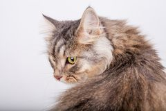 Siberian cat is looking back stock photo
