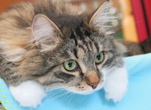 Siberian cat, male brown tabby with white. Male of siberian cat, brown colour Stock Image