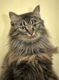 Siberian cat Stock Image