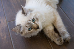Siberian cat, Neva Masquerade. Kitten 5 months old, with blue Royalty Free Stock Photos