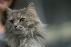 Siberian cat. Pedigree Cat - silver gold Royalty Free Stock Photography