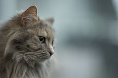 Siberian cat. Pedigree Cat - silver gold Royalty Free Stock Photos