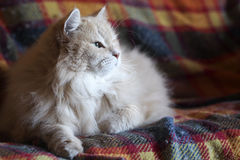 Siberian cat on the plaid blanket. Cesare, a male Siberian cat, is on one of his loved blankets, a warm red plaid Stock Photo