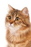 Siberian cat Stock Images