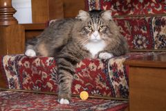 Siberian Cat Portrait. Purebreed Siberian adult cat portrait in home indoor Stock Image