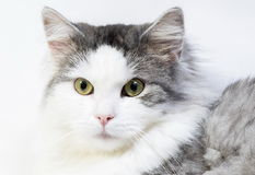 Siberian cat, portrait on a white background Stock Photo