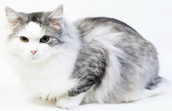 Siberian cat, portrait on a white background Royalty Free Stock Photography