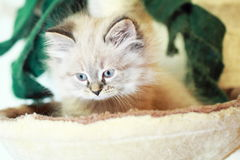Siberian cat,puppy version neva masquerade Royalty Free Stock Images