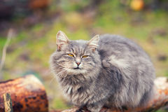 Siberian cat relaxing outdoors Stock Image