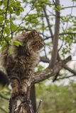 Siberian cat's sideview. Cat on apple tree. Close up. Brown cat. Royalty Free Stock Photo