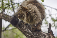 Siberian cat's sideview. Cat on apple tree. Close up. Brown cat. Stock Photo