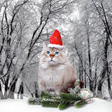 Siberian cat in santa cap Royalty Free Stock Photography
