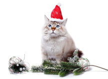 Siberian cat in santa cap Stock Images