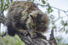 Siberian cat is sitting on apple tree and watching down. Bokeh background. Nice cat. Royalty Free Stock Photography