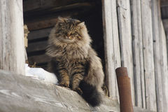 Siberian cat is sitting on board and looking on photografer. Stock Image